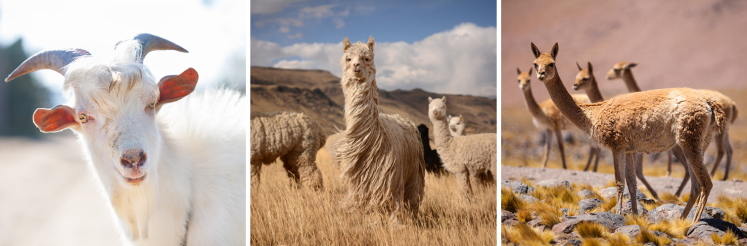 luxury textile fabrics vicuña alpaca merino cashmere fashion exclusive